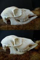 Roe doe skulls for sale by Kyasanuri