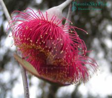 Pink Eucalypt Flower by PheonixSkyFlyer