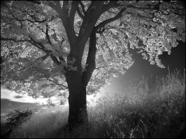 German Oak Tree infrared... by MichiLauke