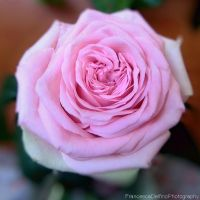 Pink rose by FrancescaDelfino