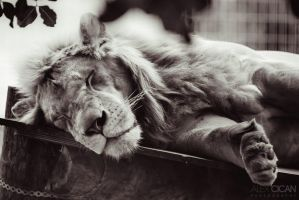 Portrait of a sleeping lion by sican