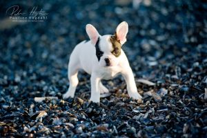 French Bulldog by Colourize