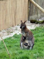 Wallaby by quinnypin