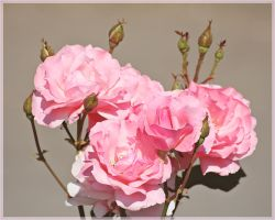 Roses for Lucila by VasiDgallery