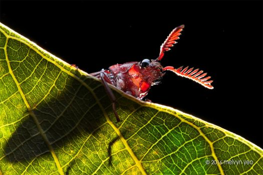 Click Beetle by melvynyeo