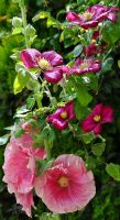Clematis and Hollyhock by Forestina-Fotos