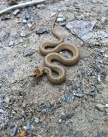 Brown Snake by CleverMessenger