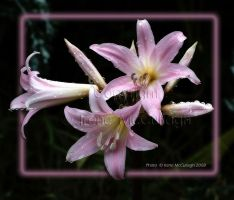 March Lilies in Pinkness by substar