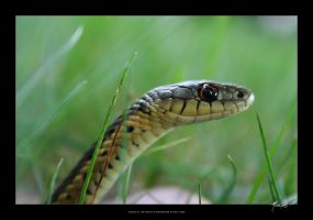 Snake in the Grass by SpicyHamster