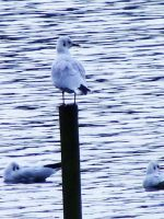 Black Headed Gull by Jack-In-The-Green