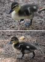 duckling by Ta-moe