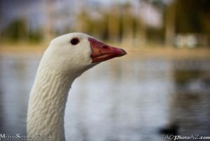 up close goose by Angel2008