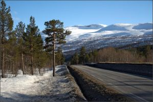Pine trees beside the road by NikolaiMalykh