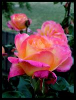 Of the Rose Garden by Lilithia