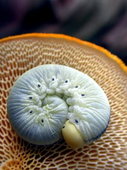 Sawfly Larva and Hexi by SauriaMami