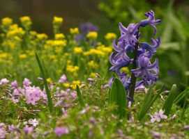 Garden Hyacinth by barcon53
