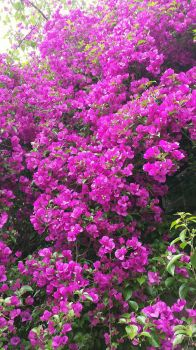 Bougainvillea  by VardaniaSolas