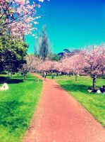 Cherry Blossom Lane by CaityJayPictures