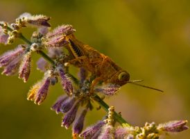 Grasshopper Lunch by boron