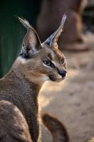 Caracal by Tienna