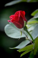 Easter Rose 4-8-12 by Tailgun2009