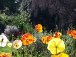 Poppys by Photographic-Candy