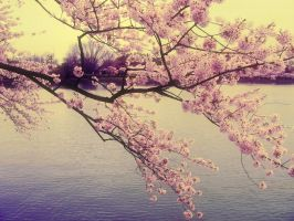 Cherry Blossoms by kayy00