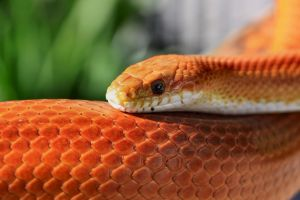 Striped Corn Snake Sunning by Caloxort