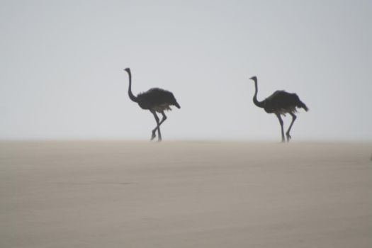 Ostriches by Rho96