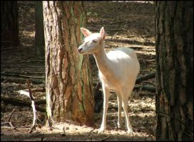 White fallow deer by A-m-b-e-r