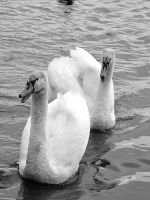 Swans by Roky320