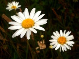 Daisies by cherisecor