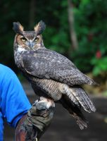 Horned Owl by SBG-CrewStock