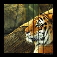 Panthera tigris altaica by fromantis