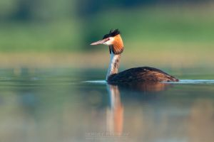 Great crested grebe by Sergey-Ryzhkov