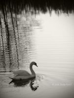 The Lone Swan by silber-englein
