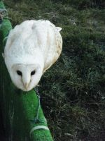 Barn Owl by Kayllik