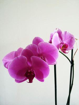 Orchid by whiskyboy