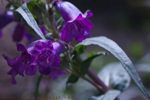 Purple bells by serasfan