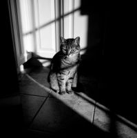Film Noir Cat by nprkr