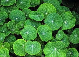 nasturtium leaves by awjay