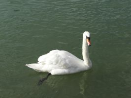 Swan 8 by Cycy-stock