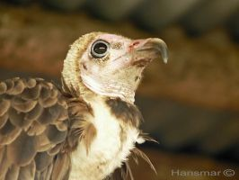 Some vulture by Hansmar