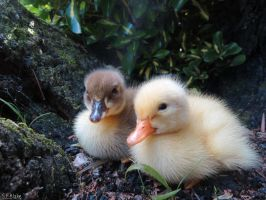 ducklings by kiwipics