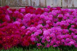 Iceplant in bloom 1 by toadfoto-stock