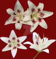 White Star Lilly PNG's by Thy-Darkest-Hour