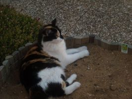 Stock Image - Calico 5 by Squirrel-Art