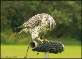 Gyr Falcon by Stumm47