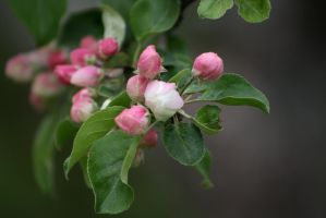 Apple Blossoms IV by Photolover68