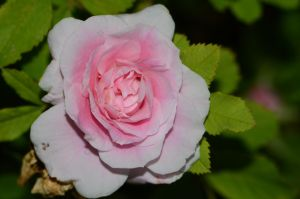 Stock: Pink Rose by Think-Outside-Of-Box